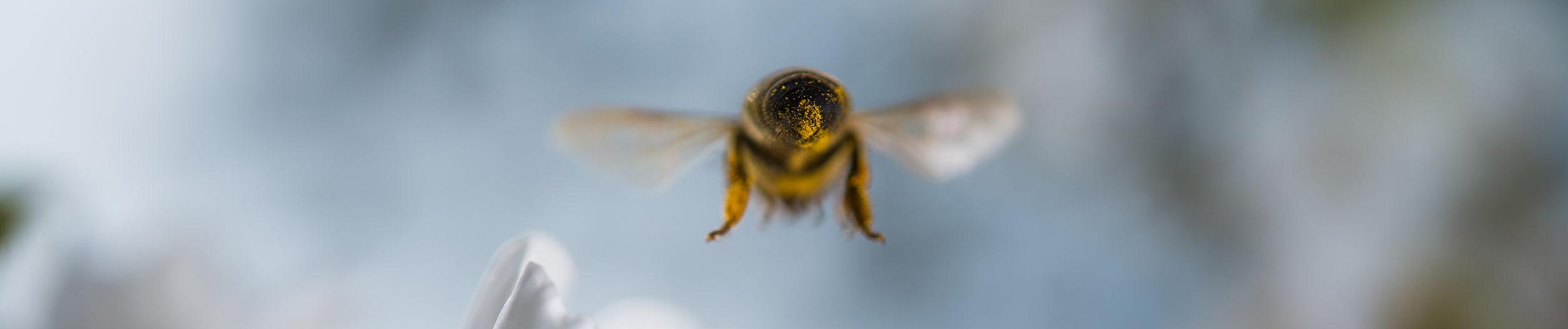 webagentur-mw-service - das Bild zeigt eine Biene voller Blütenstaub im Flug
