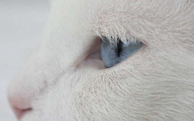 webagentur-mw - das bild zeigt einen weißen katzenkopf mit blauen augen von der seite